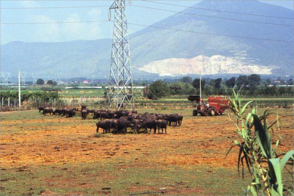 Buffels buiten Napoli, op de achtergrond de Vesuvius.